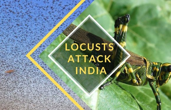 Locust Swarm Attacks India Amidst Corona Pandemic – What You Need To Know